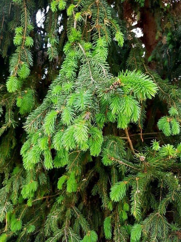 takto vyzeraju tie smrečky - výhonky, na konci konárov. zberom sa strom neničí, netreba sa obávať ani neznehodnocuje. máme to overené rokmi. práveže zber výhonkov stromu prospieva.