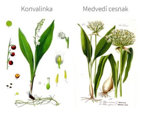 TIP: Pri zbere si dajte pozor, aby ste si listy medvedieho cesnaku, nezamenili za jedovaté lístky konvalinky. Smerodajná je vôňa, stačí ak si lístok pretrhnete a požmolte medzi prstami. Vôňa musí byť prenikavo cesnaková. Medvedí cesnak má tenšie listy, ako konvalinka. Cesnak sa zbiera na začiatku jari, kým je ešte mladý a nejde do kvety, vtedy je najsilnejší. Jeho sila slabne kvitnutím.